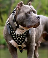 land of giants american pitbull terriers well made studded leather dog harness for american pitbull terrier