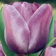 Blue Ribbon Landscaping by 41 Best Tulips Images On Pinterest Plants Tulips And Flowers