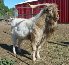 american cashmere goats management of breeding bucks and does