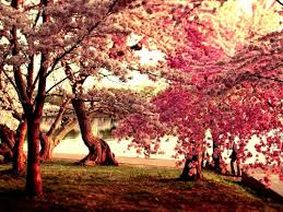 cherry blossom wallpaper for walls amazing 16 tree blossoms