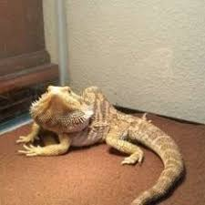 bearded dragons sizes colors