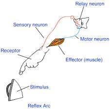 Motor Reflex Arc What Is A Reflex Response Example