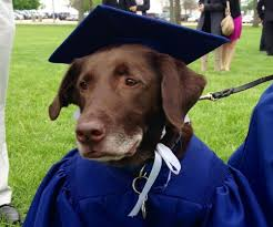 dog graduation cap and gown grad accepts diploma with cap and gown clad service dog