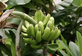 caring for plantain trees information on growing plantains