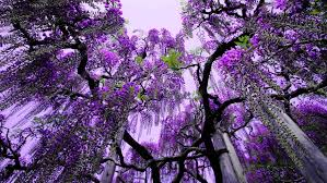 tree with purple flowers wisteria ashikaga flower park japan tree with purple flowers