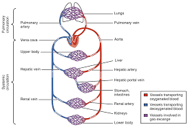 Outline The Anatomy And Physiology Of The Human Body 20 1 Structure And Function Of Blood Vessels Anatomy And Physiology