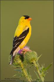 North Carolina birds images 21 best birds images north carolina beautiful jpg