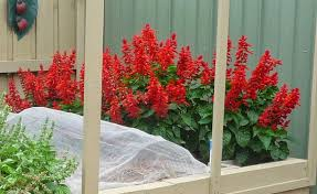 growing ornamental plants growing salvia bonfire