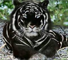 wallpaper black tiger hd most viewed black tiger wallpapers 4k wallpapers