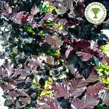 fagus sylvatica fagus sylvatica dawyck purple buy purple upright beech tree