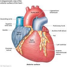 the cardiovascular system heart