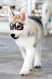 australian shepherd husky mix follow jayeshtripathi this is so cute i am dying animals