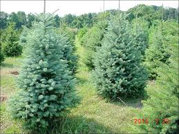 blue spruce chester county pa evergreen trees b b colorado blue spruce