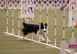 afghan hound agility top dogs crowned at akc obedience classic and akc agility