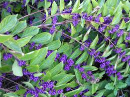 q u0026a shrubs for fall color hgtv
