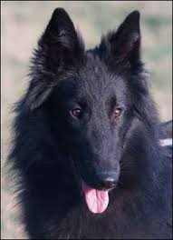 belgian sheepdog registry welsh sheepdog photo sheepdogs for sale sheepdog border english