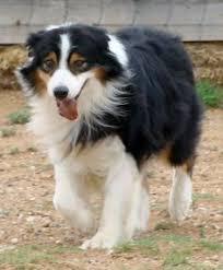 australian shepherd traits border collie mini aussie mix mini australian shepherd dogs
