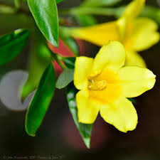 State Flower Of Colorado - yellow jessamine state symbols usa