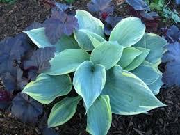Fragrant Shade Plants - 104 best hostas images on pinterest shade plants hosta plants