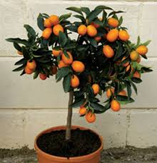 calamondin indoor orange trees green notebook