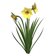 daffodils png transparent images png all