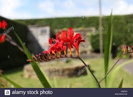 a small genus of flowering plants in the iris family iridaceae