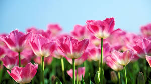 garden full of pink tulips natural flowers