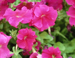 Phlox Flower Does The Phlox Flower All Summer Hunker