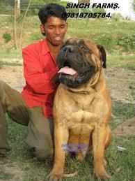belgian shepherd for sale in pakistan bull mastiff price in india bull mastiff puppy for sale in mumbai