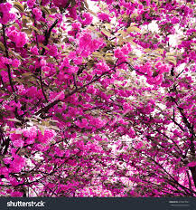 blossom trees cherry flowers blossom trees garden background stock photo