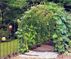 28 best gourd growth images on garden ideas gourd