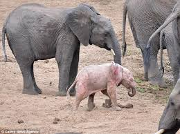 baby albino elephant spotted in kruger national park in south