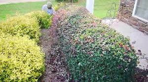 learn how to trim your shrubs and hedges professionally youtube