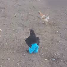 Chicken Running Meme - chicken runs around wearing blue pants funny pinterest blue