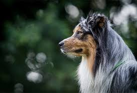 australian shepherd akc 25 surprising australian shepherd facts you might not know
