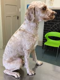 bedlington terrier shaved dog grooming u0026 clipping puppys first haircut walkerville vet
