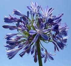 agapanthus lily of the nile a profile of a perennial flower