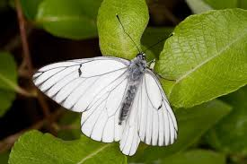 uk butterflies black veined white aporia crataegi