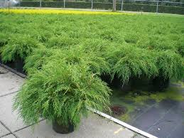 ornamental shrubs ornamental shrubs and trees siberian carpet