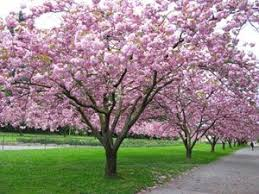 tree with pink blossoms in my web value