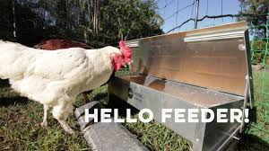 the free range chicken feeder training your chooks youtube
