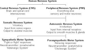 Describe A Reflex Action Nervous System Intro