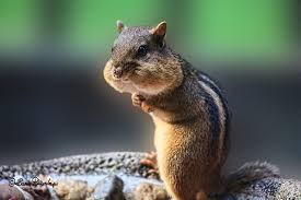 keeping the peace between gardeners and chipmunks the national