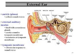 Outside Ear Anatomy Anatomy And Physiology Ppt Download