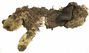 10 000 remains extinct woolly rhino baby discovered