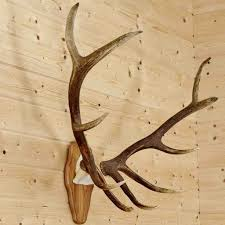 horns for sale elk skull plate horns sw8905 for at safariworks taxidermy sales