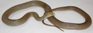 it is snake season in diggers rest diggers rest talk