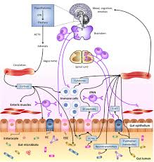 frontiers the neuro endocrinological role of microbial glutamate