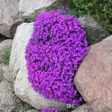 Rock Garden Cground 2018 Rock Cress Aubrietia Flower Seeds Easy To Grow Excellent