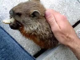 cute baby pet groundhog